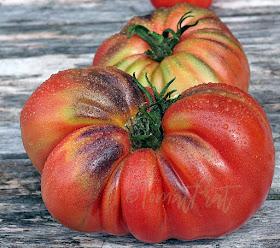 Ny tomatsort under utvikling!