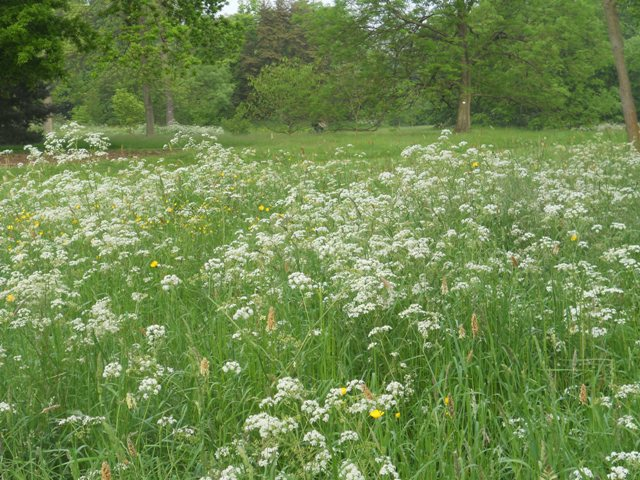 What do you call that white thing kill your mother quick on tuesday night i asked a tour train of directors from botanic gardens around the world what they called the white flowering umbelliferous plant you see in mightylinksfo