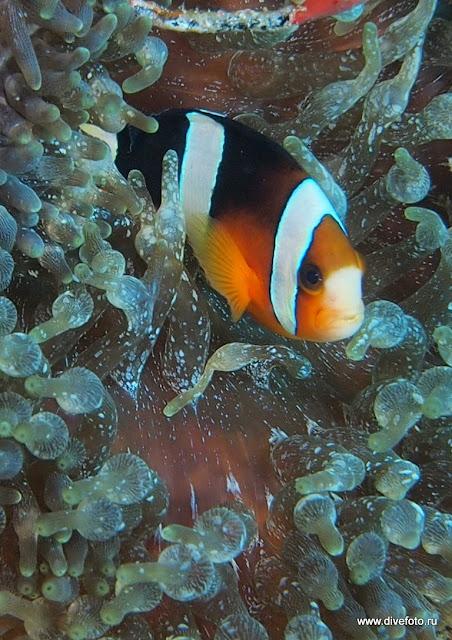 Рыба клоун обычный