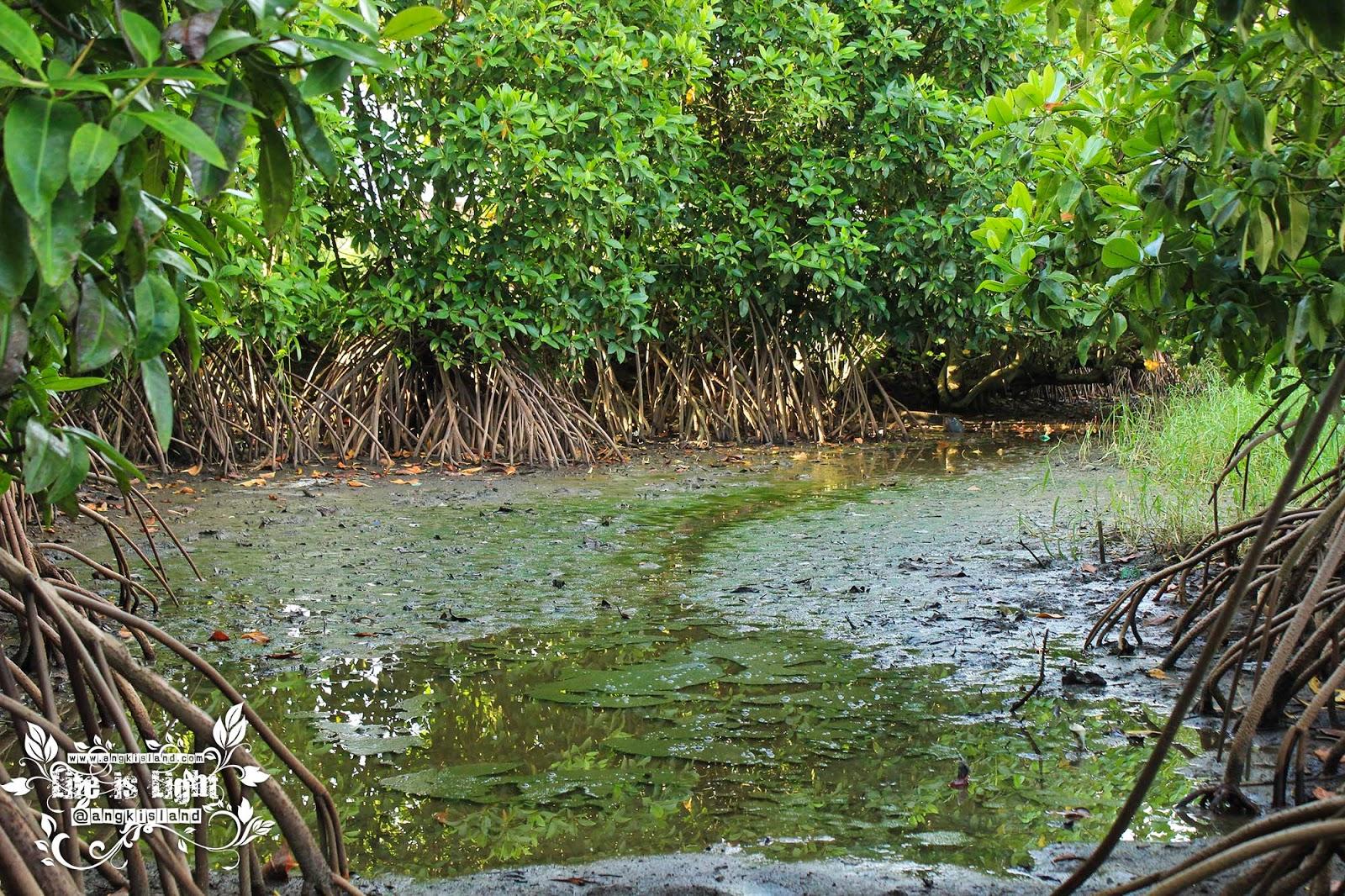 akar hutan bakau baros