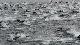 Atenção: 100 MIL golfinhos migrando JUNTOS? Algo vai acontecer?