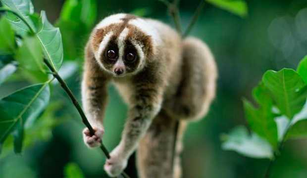 slow loris The slow loris is a nocturnal and solitary animal that moves slowly and  deliberately - until food is located learn more about this interesting animal at.