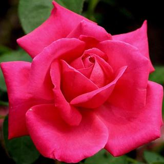 Roja rosa - Solo Nuevas