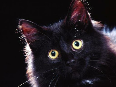 Long haired black cat