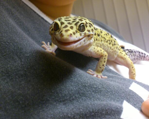 smiling gecko, funny animal pictures, animal pics