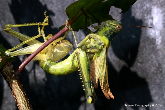 Grasshopeer Molting 1