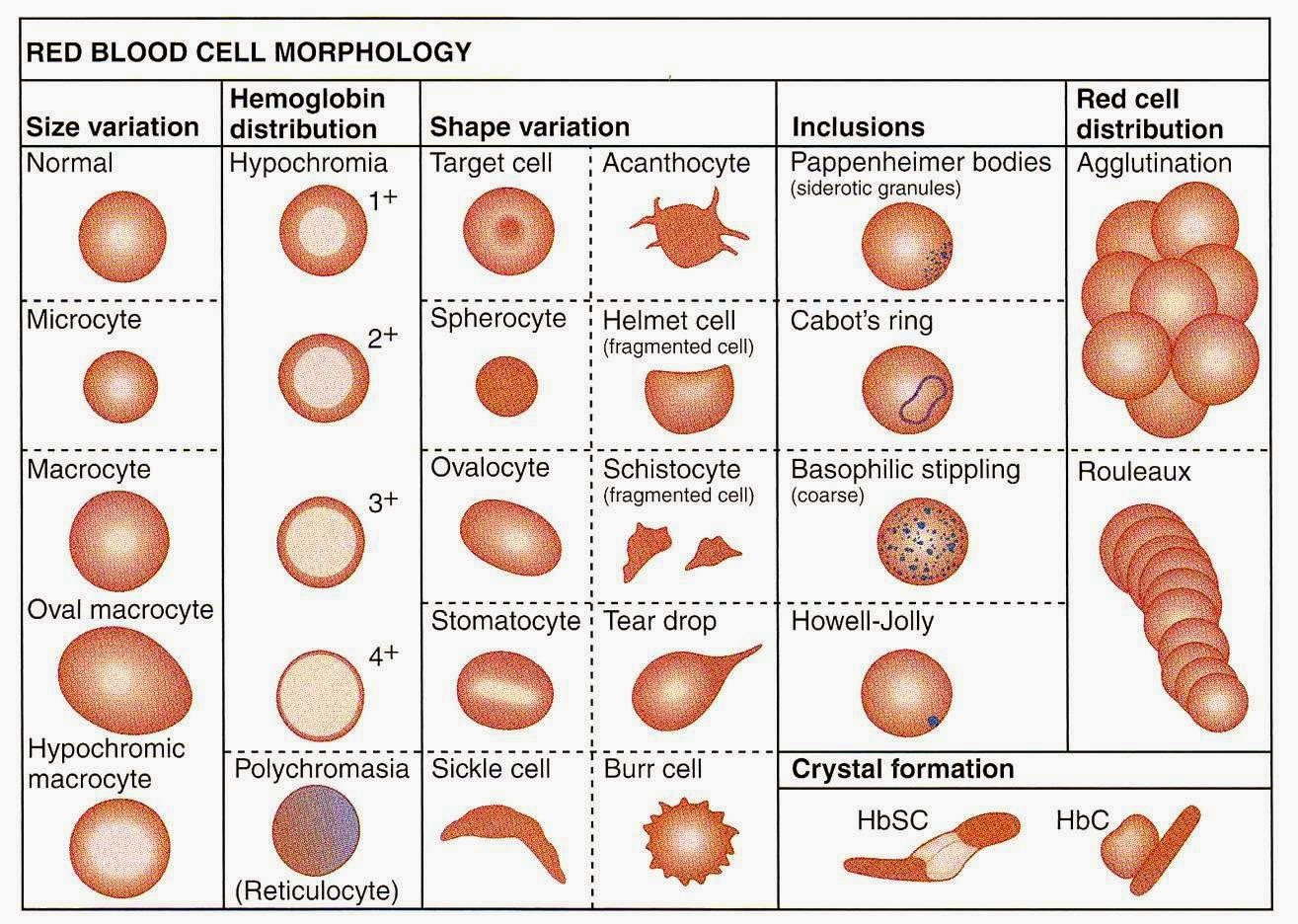 morphology of human blood Morphology: morphology, in biology, the study of the size, shape, and structure of animals, plants dutch microscopist antonie van leeuwenhoek used the recently invented microscope to describe red blood cells, human sperm cells, bacteria.