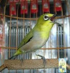Cara memaster (melatih) burung pleci dengan suara-suara lain supaya cepat gacor