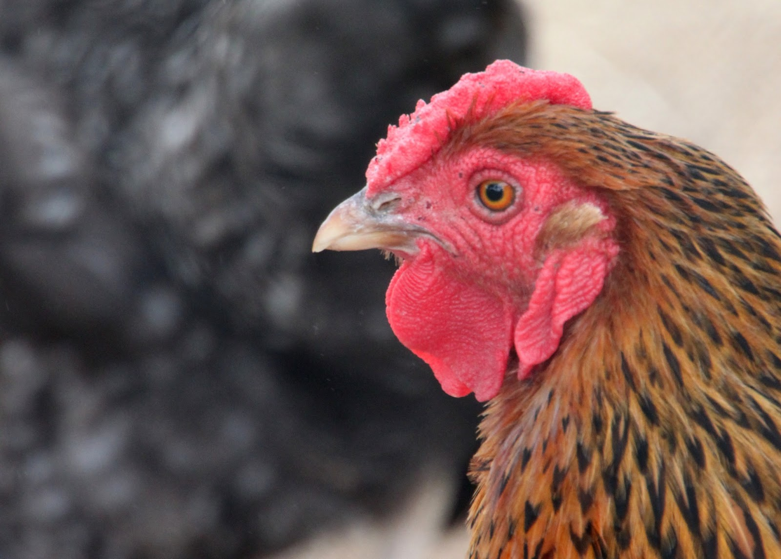 6 myths busted about backyard chickens community chickens