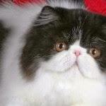 How to Maintain Persian Cats - Persian Cat Feeding Tips