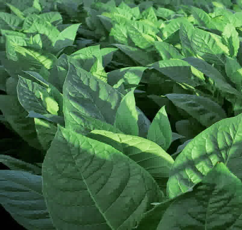 budidaya tembakau organik nasa