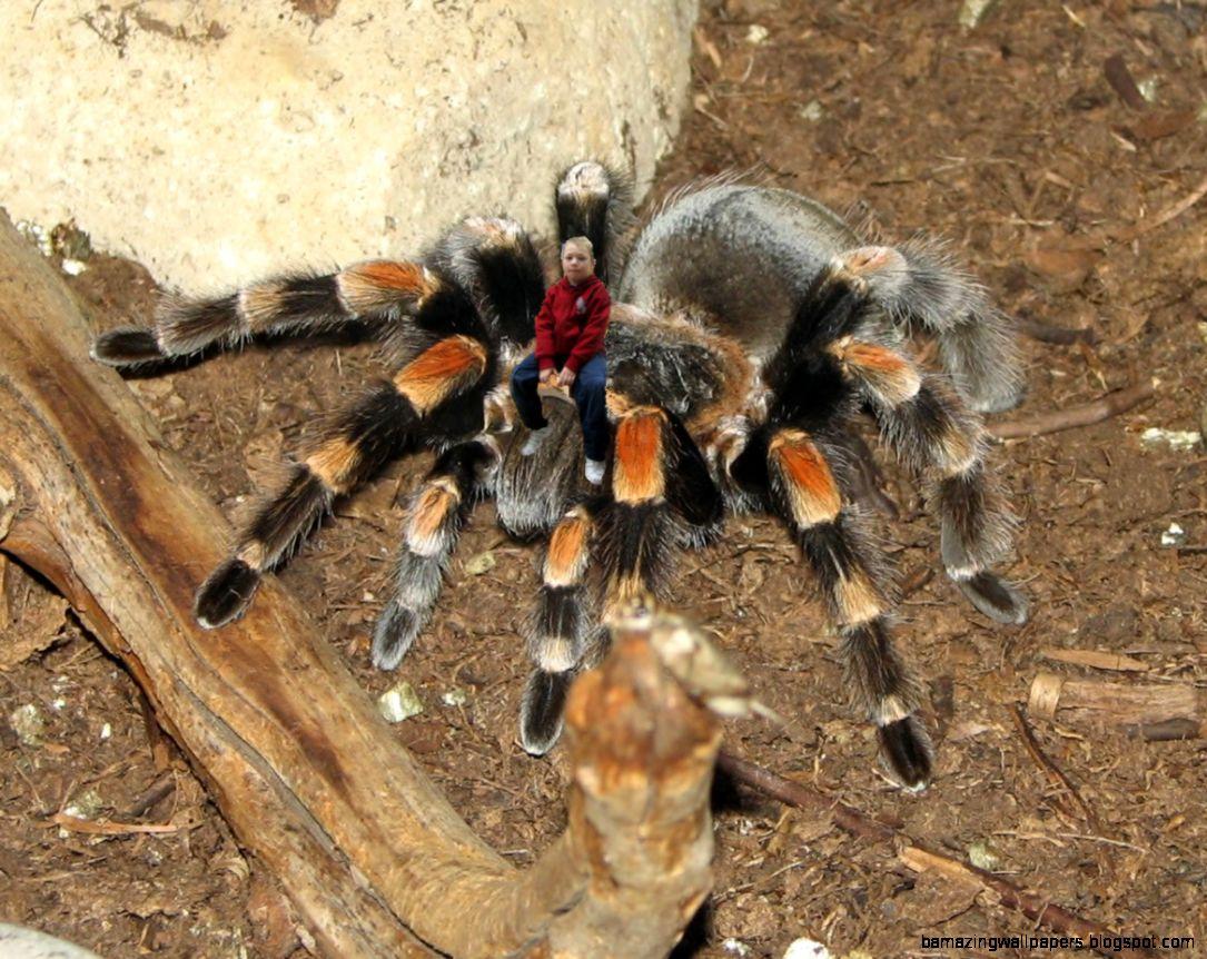 Ms Daniel39s Rainforest Creatures  ctarantula