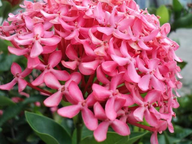 Ixora Coccinea Pink Bloom