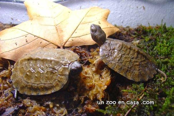 Crías de Glyptemys insculpta