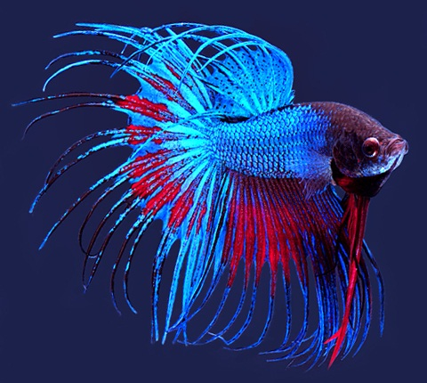 aquarium fish others fighting fish