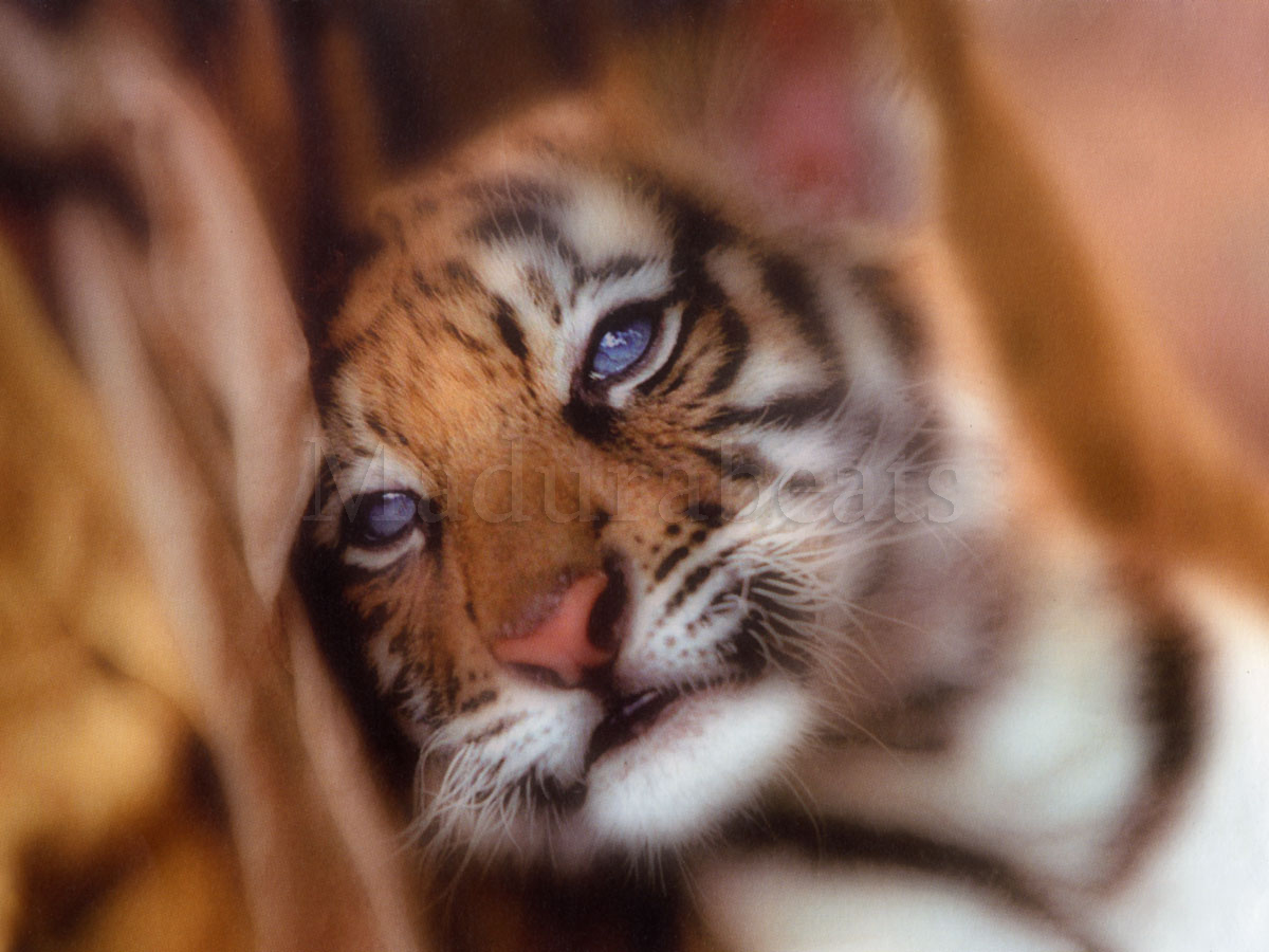An Indian Tiger cub-Save our Tigers