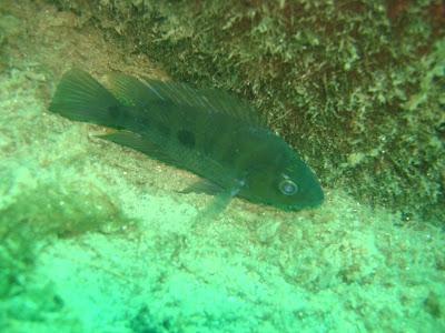 blind Amphilophus