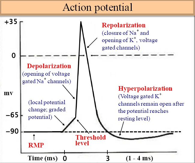 Bio Geo Nerd: Action Potentials Up Close