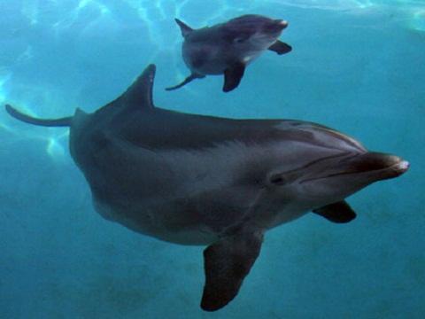 baiji picture 480x360 baiji dolphin endangered habitat 480x360 baiji    Baby Baiji Dolphin