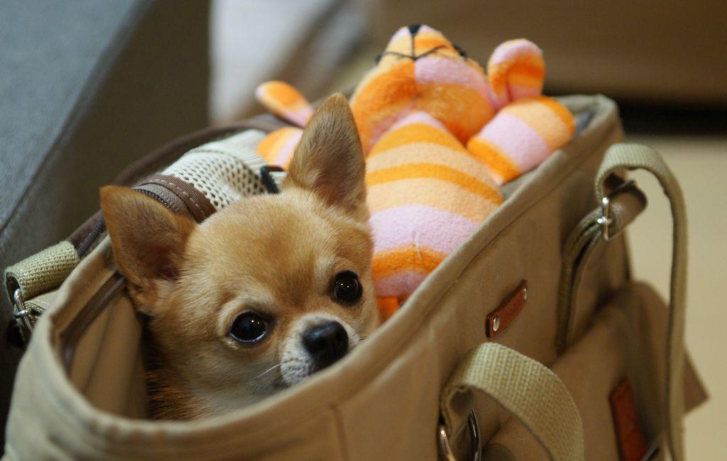 4. Chihuahua by kanonyobo