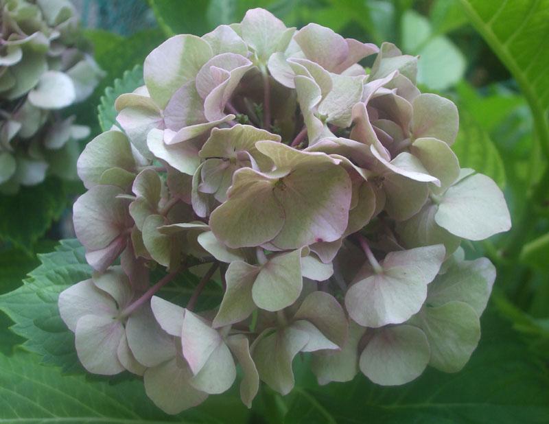 Ortensie Rosa Cipria : Il piccolo giardino di l i mutevoli colori dell ortensia