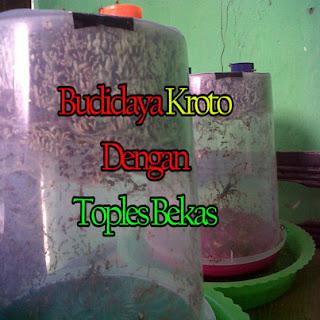 Budidaya kroto murah