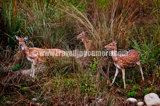 Recently I was out to Jim Corbett with office friends and this was my third trip to this place. The only change was place where we stayed and safari timings as well. This time we decided to go early morning as Tiger had denied to meet us during evenings...Spotted deer at Jim Corbett National Park, the most popular thing to find inside this wildlife sanctuary. Some of the friends also made some theories and both were opposite to each other. One theory says that high number of tiger means less number of tiger and then less probability of finding one. Other theory says - If you watch and wait at the place where deers are, probability of siting a tiger are high. I don't want to discuss these further :)So most of the folks got up early at 5:00 am and this time is really very odd for engineers, except few special cases. Vaibhav, Lalit, Priyanka and Anurag in their Safari van and waiting for other folks to join and start the real journey towards the wildlife sanctuary. We stayed at Tarangi Resort and all vans came to same place to pick us for Safari.After driving at 100 kmph, we reached forest gate and our driver went out to do the paper formalities. There was some time to start the Safari. This gate opens at 6:30 am. After all the formalities one forest guide joined us in van and he shared some interesting details, which were hard to believe in.We went through Amadanda, which is entry gate for Bijrani region of Jim Corbett Wildlife Sanctuary. There is a limit on number of Safari Vans which can visit this zone at a particular time. We had approximately 8 vans and 2 were stopped at gate. At least distribution of spotted deers was uniform as we were seeing them after every 5-10 minutes. At least there was something to entertain inside the forest. First time when we saw these deers, we stood up and clicked lot of photographs. Same thing happened second and third time. But after that we were not even stopping the van after sighting of spotted deers or barking deers.Here is a photograph of newly build Guest House at Bijrani. It seems there are five  main regions of Jim Corbett National Park which are known as Dhikala, Jhirna, Bijrani, Sonanadi, Domunda. And various entry gates are located at Dhangari, Khara, Kalagarh, Amadanda, Vatanvasa, Durgadevi !!!Here comes the first break near Bijrani Guest House. There were some shops to have some tea and snacks. In this photograph everyone is coming near to this safari van to have a group photograph. Everyone is relaxing at Bijrani waiting point. Somehow all drivers were more comfortable in spending time at this spot rather go inside forest and wait at appropriate place for birds if not tiger. Anyway, probably all depends upon enthusiasm of people they accompany. Elephant Safaris are also available at Jim Corbett, but I never had one. I would definitely try this one in Bandhavgarh or Kanha next time.It seems Corbett has largest number of Tigers in India and few said Asia, but Kanha & Badhavgarh are two popular places for Tiger sighting. Both these Sancuatries are in Madhaya Pradesh. I have been to MP many times but never got a chance to visit these sanctuaries. Another empty Safari van waiting for folks to come in and continue the next journey inside forest. It was standing near Bijrani Guest House. There are many Forest Guest Houses inside the national park and probability of finding a tiger increases. I have heard a lot about the guest-house in Dhikala. Few months back, I had an option to stay in Dhikala Guest House. But I had a question in mind that how important it is to go to Corbett for seeing a tiger after taking leave at office, travelling in a bus n lot of other things :) ... So finally we continued after a decent break of 25-30 mins at Bijrani Guest House and Check-post.To know more about Jim Corbett National Park Guest Houses, check out http://www.jimcorbettnationalpark.com/corbett_zone.aspWe were welcomed with some colorful birds on river bank. We were also to catch some of them in cameras and saw others through binoculars. Somehow I was expecting more birds on the way but probably we crossed very fast. This Safari seemed like a project to finish as soon as possible. On top of that our forest guard was very negative and asked to enjoy this forest & this ride... Kingfishers and Spotted deers are two things I have always seen in Jim Corbett. But fortunately this time this tiny bird was comparatively closer to us :)Another photograph of same Kingfisher with a different pose :)Eagle sitting on top of very high tree. Our driver saw hi coming towards this tree and stopped the van. Soon after the eagle landed behind a branch and it was not visible from our van. We moved by few meters and waited for some time. Someone driver and foreest guard were more enthusiastic about watching this bird and we were relaxing back on our seats. But of course, me and Priyanka were trying to click some photographs with appropriate lighting on it.Now it was time to see tiger :We reached near a high machan and some of us also went us with their bianoculars. After sepnding some time on top of it, everyone came back and thought of moving ahead. Although some of the folks wanted to wait and enjoy this place but most of were in hurry :)Saurabh, Charu, Dhruv, Tarun and Ekta - All set to move forward and soon after we starting seeing pugmarks of Tiger. This is normal process which happens during all the visits to Jim Corbett. I was seeing these marks third time but never saw that Tiger who went by that track few minutes back. This time there was one different thing which I missed to capture in my camera. There was a mark in the middle of the track, which was defined as a mark created because tiger was sitting there.  After seeing a series of marks, we went towards dense forest and track was amazing. Noone was allowed to stand and instructions were given not given by driver or guide this time. Trees were asking us to sit on our seats. I think I missed the part when driver/safari-guide sensitize every tourist while inside the forest - mainly folks are not allowed to wear vibrant colors, try to make to less noise and to sound when we see something. The only difference was that theories were not tol this time. Otherwise there is a technology to track a tiger and whole method is based on movement of birds, sounds in the forest and state of spotted deers. Best story I heard was the one by a guide in Ranthambore National Park.There were lot water bodies inside Jim Corbett National Park. Some of them were quite rich with flowing water, few were in form of natural water ponds and some concrete ponds were also created to have regular water supply during summers.Best part of this safari was the expereince of a dense forest with colorful grass on both sides of these tracks. One should have wait here to watch various colorful birds. Although none of us had that patiance, as most of us wanted to mark the checklist that we went inside Corbett National Park :)Hope this man would have not been there on top of this elephant :( ... Anyway, it was good to see an elephant inside the forest.Most important activity was to click Photographs. Whole group was rich in terms of cameras. Most of the camera brands, types were accompying us inside Corbett National Park. Most of the folks had DSLRs with zoom lenses and few of the folks had dpoint-n-shoot digicams. btw, Tarun is carrying his personal camera which is gifted by Adobe on completion of 5 years of his service to Adobe and his sabatical is due.Other interesting thing which was explained to us that Langoors help deers in getting green leaves form top part of the high trees. So Langoors go up and pluk some leaves for spotted deers waiting below.Here is forest office where each Safari van has to mention the in time as well as out time. Forest department make sure that no safari van is spenting much time inside the forestFinally everyone missed Tiger, as usual. Although most of us had minimal expectation of seeing a tiger but still everyone had this right of getting disappointed in the end of this Safari to Jim Corbett National Park.