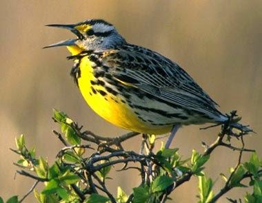 http://www.statesymbolsusa.org/Kansas/bird_western_meadowlark.html