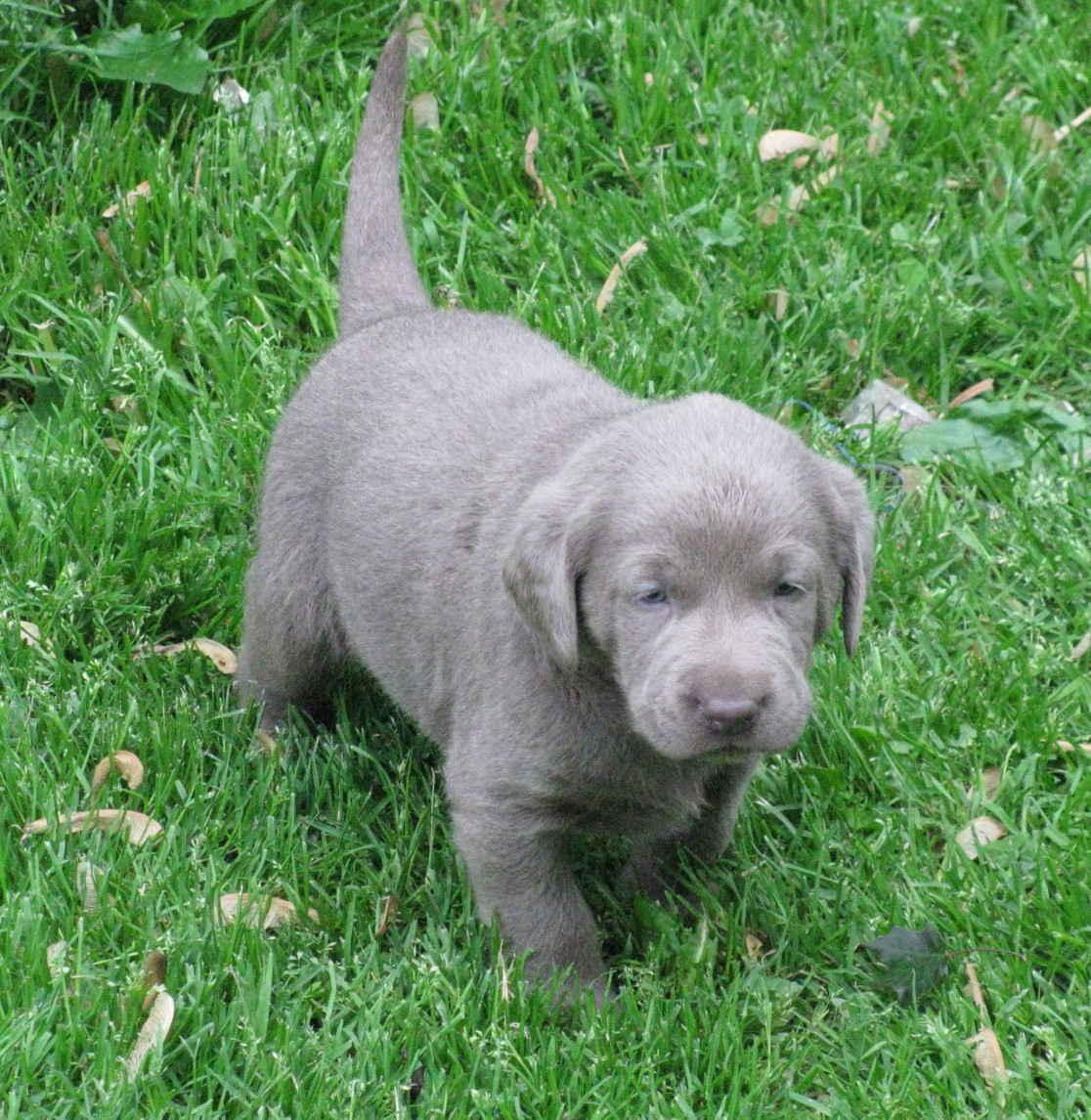 Labrador Silver Lab Puppies picture wallpaper