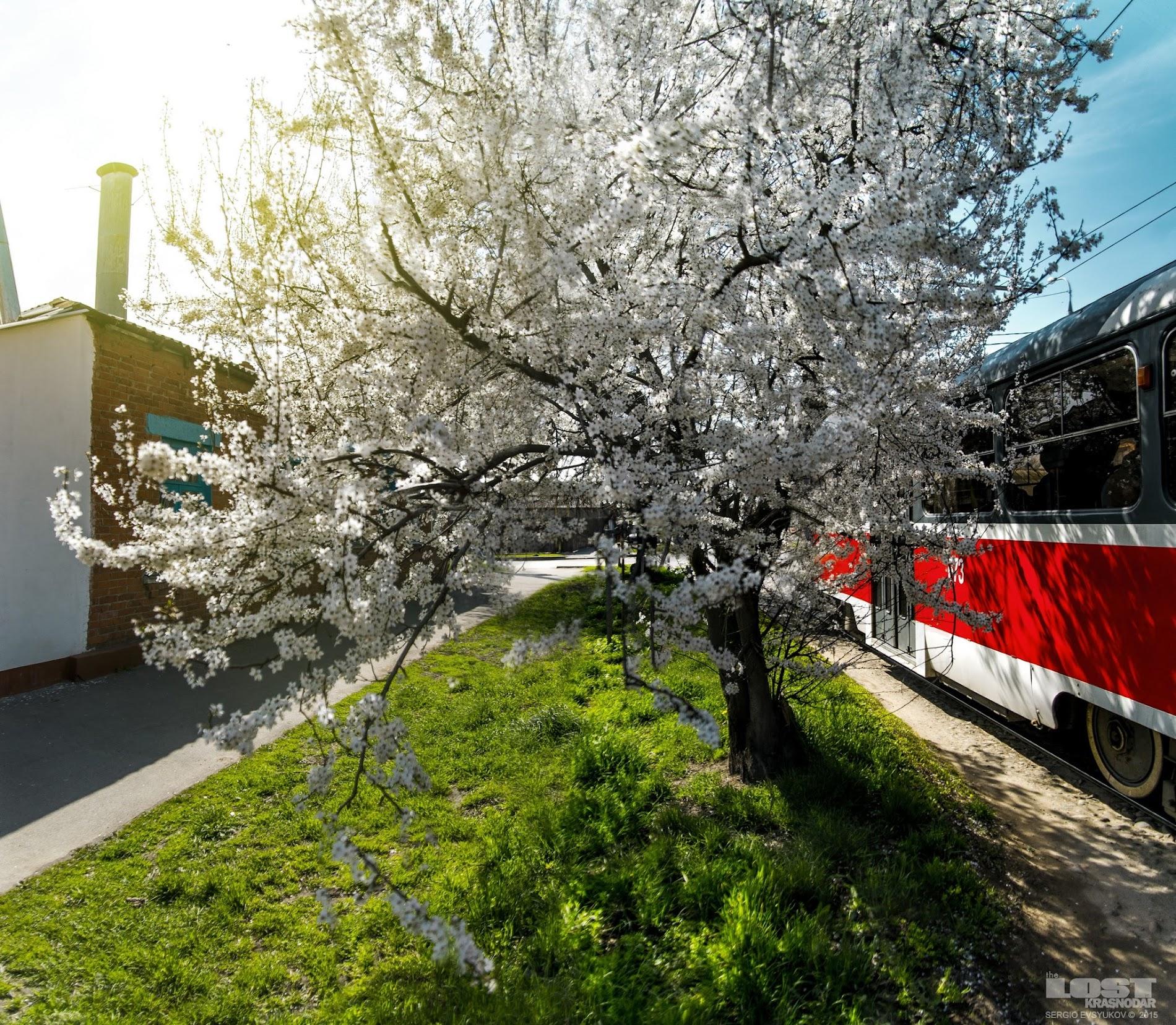 трамвай и цветущее дерево