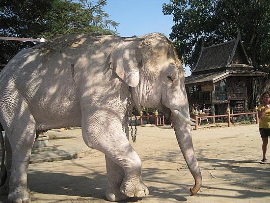 how to catch a white elephant