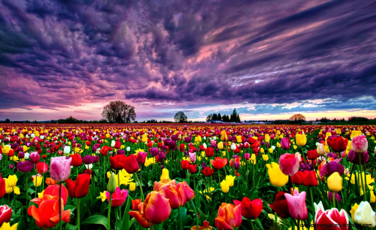 tulip fields wallpapers