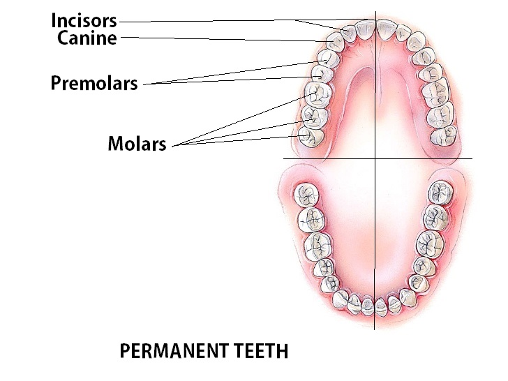 How milk teeth change to permanent: note to parents 71