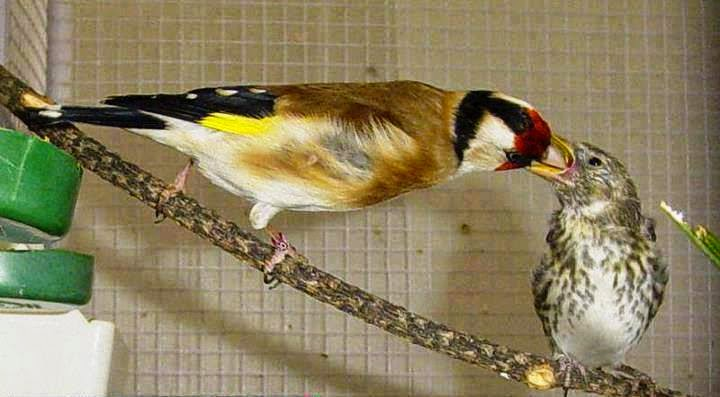 الحسون طائر الحسون إنتاج الحسون بالقفص