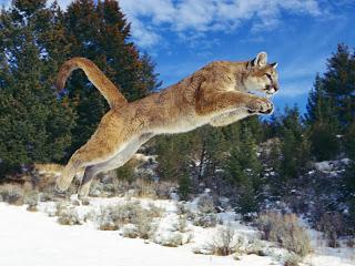 ملف كامل عن اجمل واروع الصور للحيوانات  المفترسة   حيوانات الغابة  8