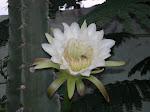 Flor de Mandacaru, ao amanhecer.