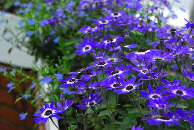 Pericallis 'Sunsenere Blue Bi-color' and Lobelia 'Lucia Dark Blue'