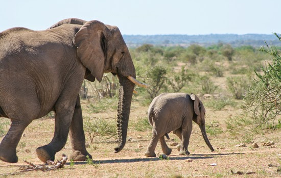 Safari Fusion blog | Happy Mother's Day | Elephant with her baby, Mashatu Game Reserve Botswana © Kellie Shearwood