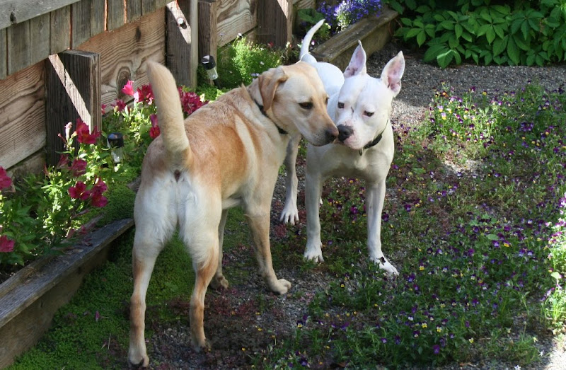 cabana and white muscular pit bull francie touching noses in our side yard which is gravel but with flowers all around, both dogs have their ears up and back in an alert stance