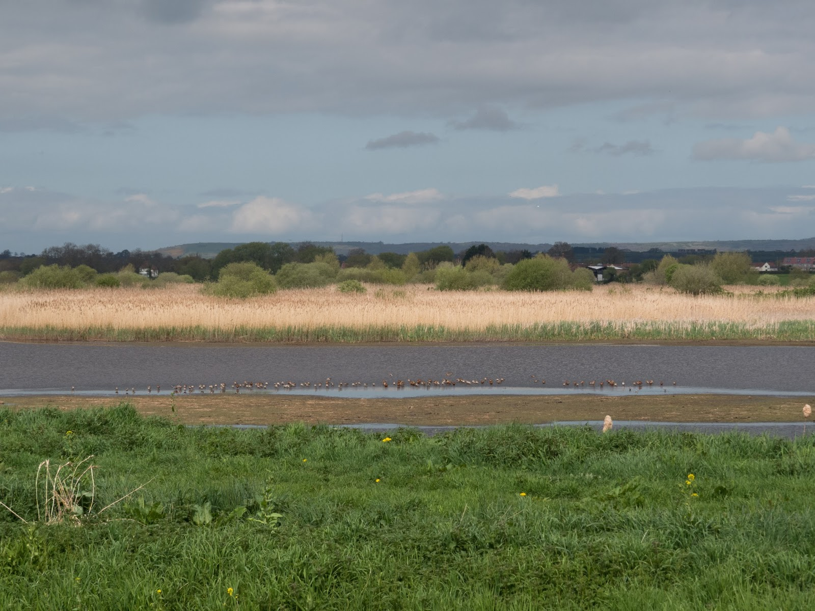 Godwit Flock - Somerset