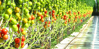 http://3.bp.blogspot.com/--5XIBEjiglg/UbWLGpQKPZI/AAAAAAAArrs/m3aF3To7OyE/s1600/tomatoes.jpg