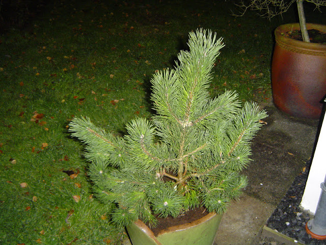 fyrretræ i potte