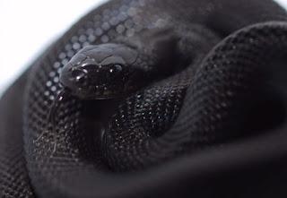 Melanismo: Serpiente negra