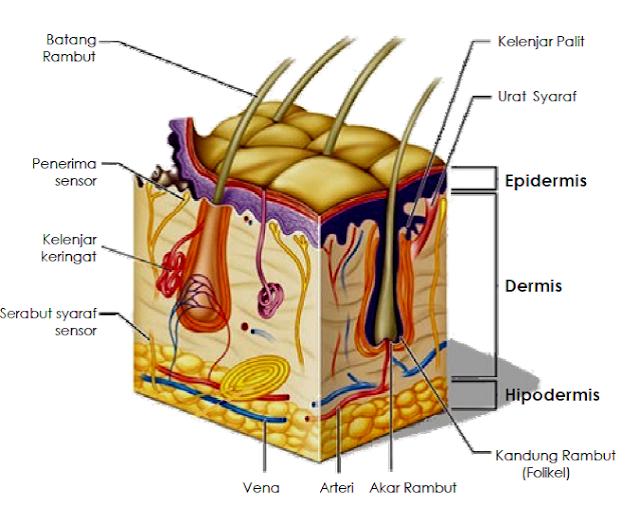 lapisan epidermis kulit, struktur kulit, stratum corneum, stratum germinatum