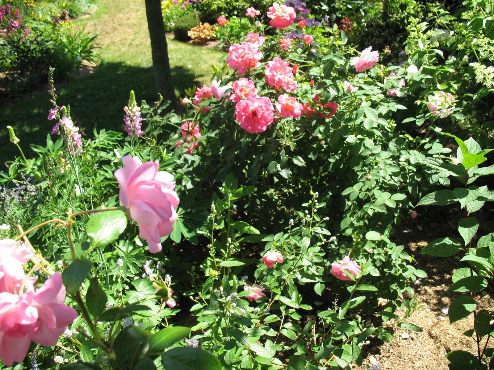 Roses Du Jardin Ch Neland Rosier Belle De Clermont