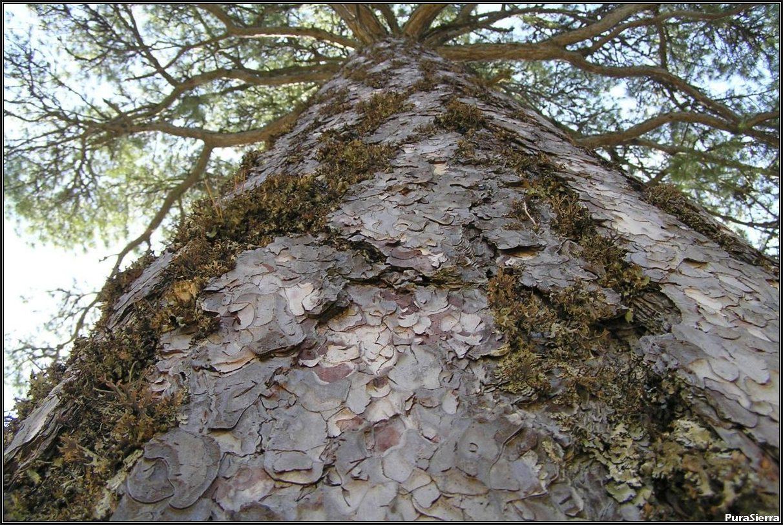 Vista del tronco de un pino laricio