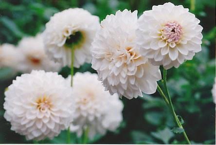 Khasiat Bunga Dahlia untuk Kesehatan