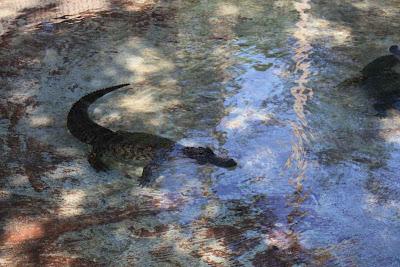 Alligatoren im Big Cypress National Preserve