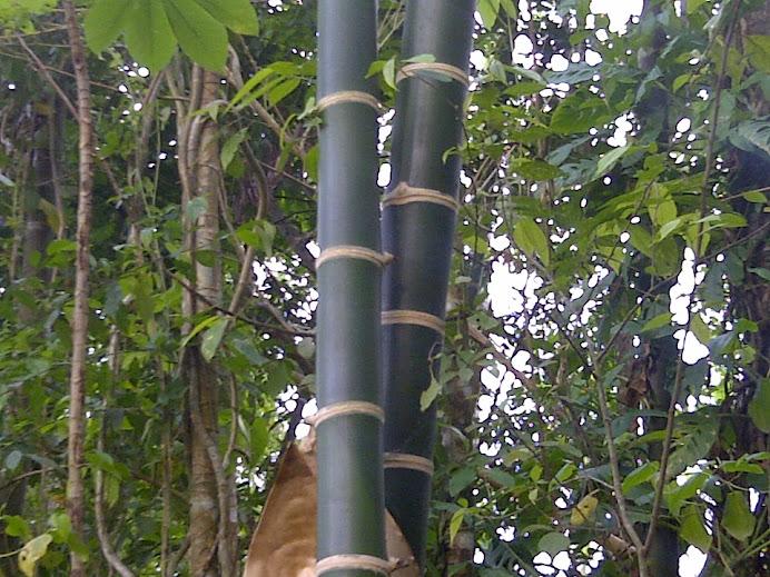 Bambú Guadua