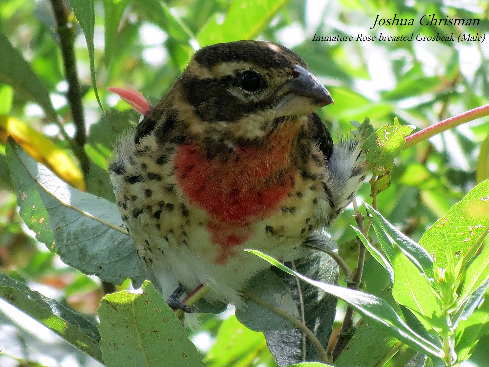 wild birds unlimited photo share immature red breasted grosbeak
